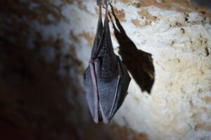 Photo of bat enfolded in its wings hanging upside down