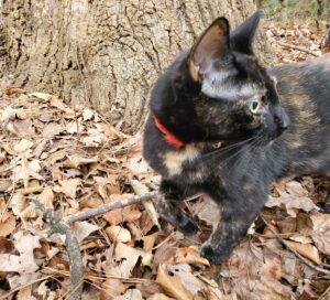 Tortoiseshell cat, standing in leaves before a tree trunk, turns its head to look behind it.