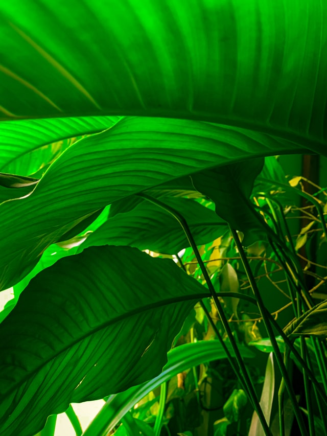 Large green leaves with sunlight filtering through green through the leaves