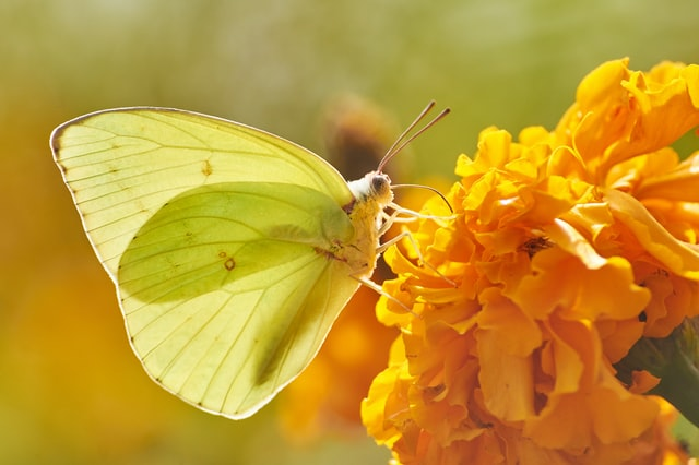 Image: Greenish-yellow butterfly on a yellow flower. Text: