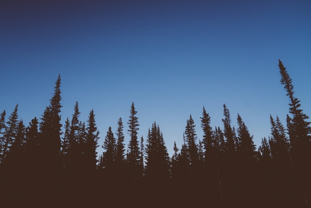 Dark evergreen trees beneath a blue night sky
